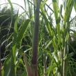 この夏の猛暑でサトウキビが大きく育つ
