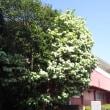 なんじゃもんじゃの樹 4月21日