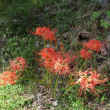 近所の道端(旧東海道)に彼岸花が咲いてます