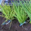 玉ねぎ栽培、苗購入、植付作業台製作