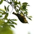 ☆ わりと身近な野鳥の一つ、メジロの姿、ドキドキ眺め ☆ KK楽園(岐阜県各務原市)