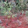 ☆きょうの庭バラ 9/22 バター・スコッチ4番花1号