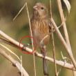 風と藪の中のベニマシコの群れ《四年前のベニマシコ(♀)に再会?》:紅猿子:Uragus sibiricus:Long tailed Rosefinch (2019 01 19 撮影)
