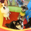 新入犬の【まめくん】  犬のしつけ教室@アロハドギー