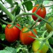 トマトという野菜