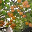 我が家の柿の木にHB-101