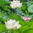 楽書き雑記「復活した名古屋・鶴舞公園のハスが見ごろに」