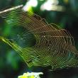 黄金色に輝く蜘蛛の糸