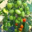鈴なりトマト