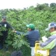 「奥松島果樹生産組合いちじくの里」でいちじくの初収穫を行いました