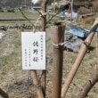 '18.03.18 里の佐野桜