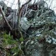 岩壁のヒメノキシノブ