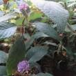 玉紫陽花 開花7