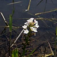 ミツガシワがまだ咲いています