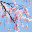 「青の衝撃」が弘前観桜会100周年を祝賀飛行
