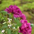 筥崎宮の花庭園p3(冬ぼたん)