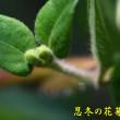 忍冬の花芽