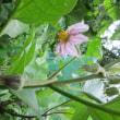 夏野菜の花