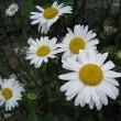 マーガレットという花