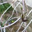 クレマチスの新芽が出た!