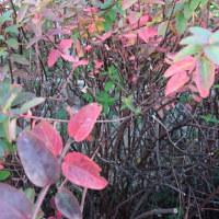紅葉している木 ‐ 自宅マンション(追加写真あり)