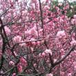 梅は咲いたが…。