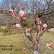 薬師池公園の梅の開花状況は(町田市)