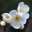 白い「冬至梅」が、咲き始めていました