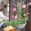星型花台とペチュニアの吊り鉢