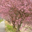 リベンジ篠山のサクラ(6)