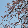 府中郷土の森博物館の梅林散策 * 藤牡丹枝垂~ふじぼたんしだれ*