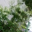 センニンソウが咲きだしました。