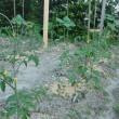 夏野菜の植えつけ始まりました。