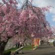 桜を観に北へ