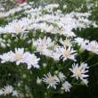 ユウゼンギクの花は
