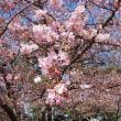 花~河津桜