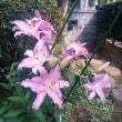 ピンクのカサブランカ