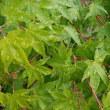 もみじの葉に雨粒の重み
