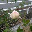 我が家の庭 2018 初冬編 ~モミジの紅葉とバラの花~