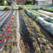 イチゴ苗 定植スタート