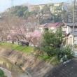 広島の桜開花 安佐北区でも