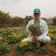 私が「タンポポ」を薬草と知ったのはソウルオリンピックの年でした。