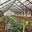 プチトマトの苗の植え付け