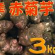 生菊芋 & 菊芋の花  は今~相模原市・緑区タカギの畑