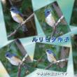 桜草公園でトラフズクと出会い(145番目の出会い)秋ヶ瀬公園でルリビタキ♂(今季初)と出会う