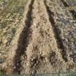 畑でニンジンの種を蒔きました