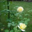 鮮やかな色 バラのモリニュー