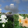 スワインソナ・ガレギフォリアの花と