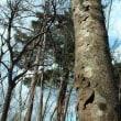 ヤマボウシ 剥落する樹皮