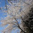 雪道、雪の桜花